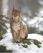 Котик з коротким хвостиком